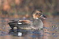 2001/02 Miss. Duck Stamp Print - Gadwall