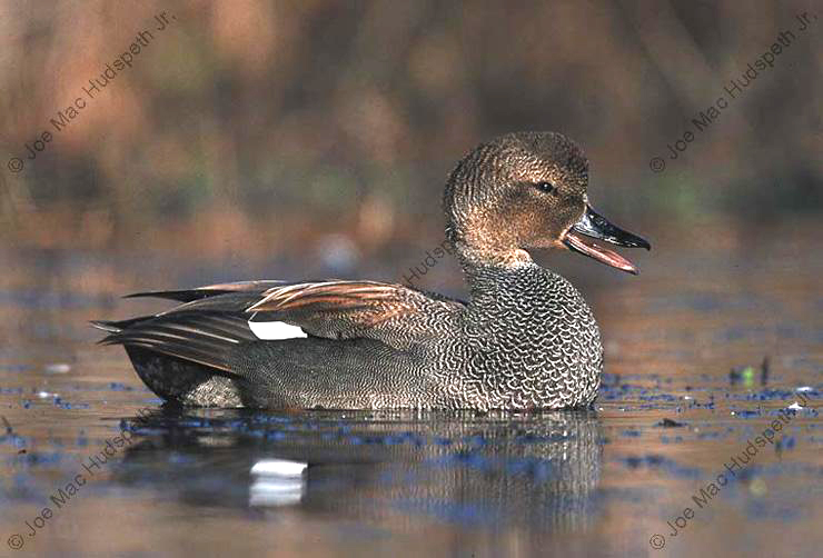 2001/02 Miss. Duck Stamp Print