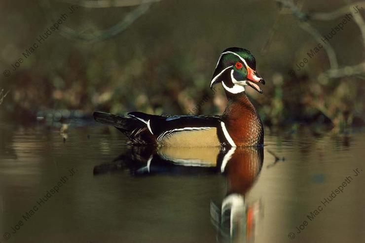2002/03 Miss. Duck Stamp Print